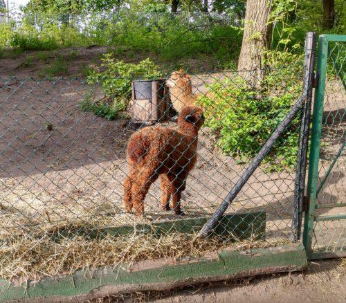 Alpaka co ma ludzi gdzieś Toruń